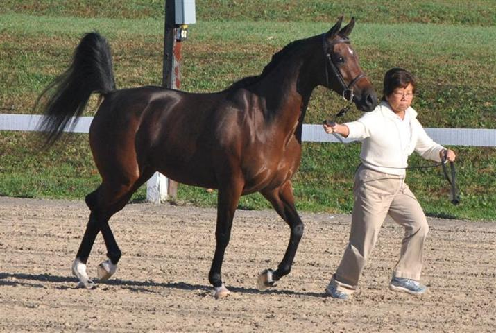 Incredible HSA & Henrietta Sport Horse In Hand