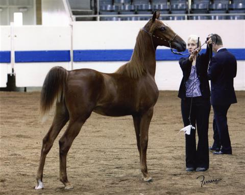 Monster Truck Reserve Champ Yearling HA Gelding