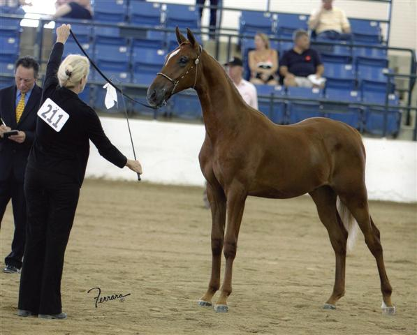 Monster Truck Yearling Geldings Region 14