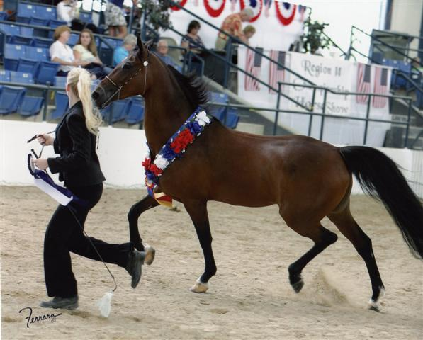 Double Daare Champion 1/2 Arab Mare